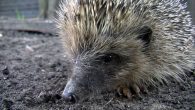 Hedgehogs are struggling to hit target weights and survive hibernation due to mild temperatures this winter.